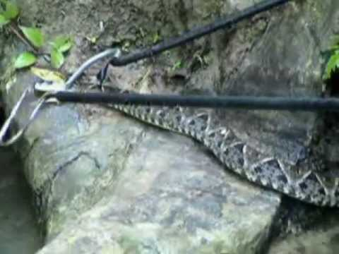 Captura de Nauyaca (Bothrops asper) en Rio Jatate, Chiapas.