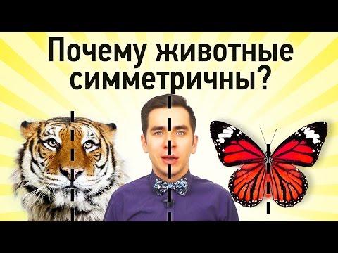 Почему животные симметричны?