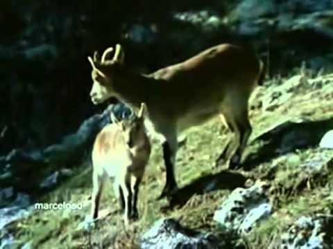 Αετός κυνηγάει αγριοκάτσικα, απίστευτο video!!!   Perierga gr