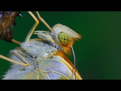 Argynnis paphia - Dostojka malinowiec - Kaisermantel