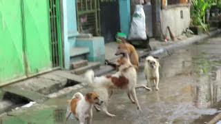 Dog Fighting in the Far East