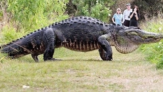 Giant Alligator the size of a Car Walks Across Florida Golf Course incredible!!!