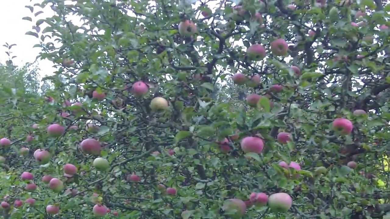 Уход за яблоней.