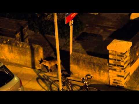 Urban fox fight - London, UK