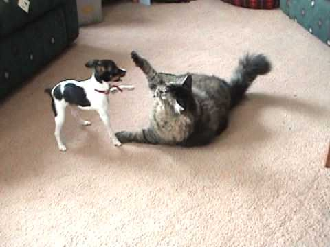 Maine Coon Cat playing with Rat Terrier