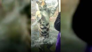 Tiger slowly creeps up behind visitors