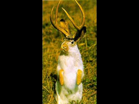 Jackalope Real or Not Jackalopes Are Real
