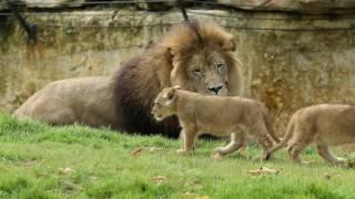 Sortie des lionceaux