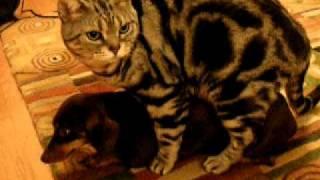 cat having sex with dog