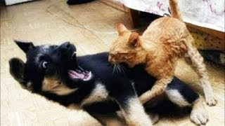 Dog Vs Cat: Cute 'Ninja' Kitten Shows Doberman Who's Boss   WORLD PET TV
