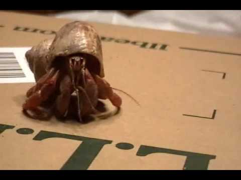Oddish The Hermit Crab Video