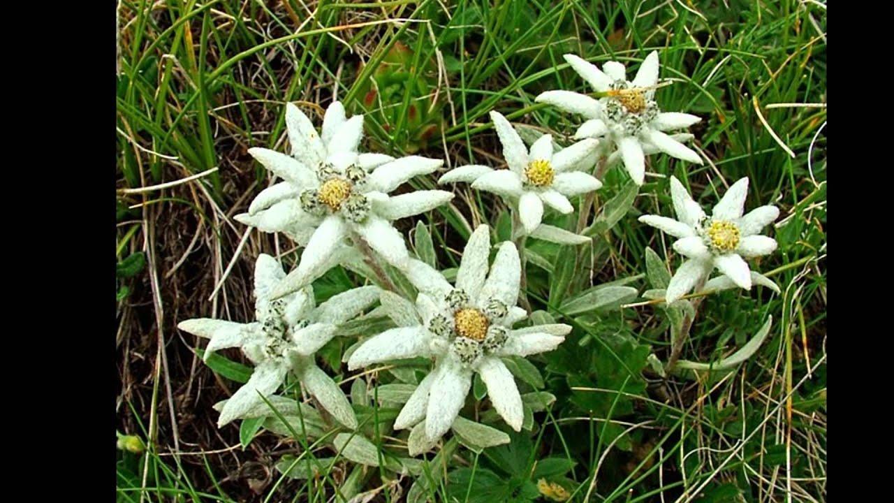 Альпийский цветок эдельвейс и его выращивание из семян в 18