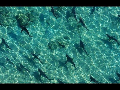 Sharks swarm Florida shore [HD] 2013