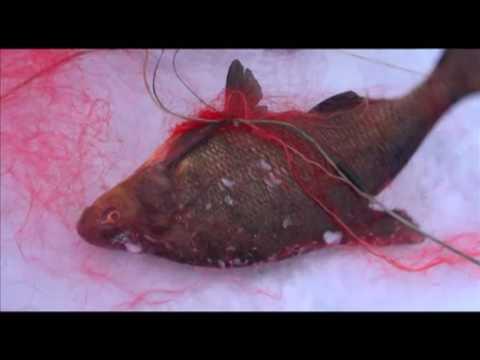 Водоемы России, Рыбинское водохранилище браконьеры