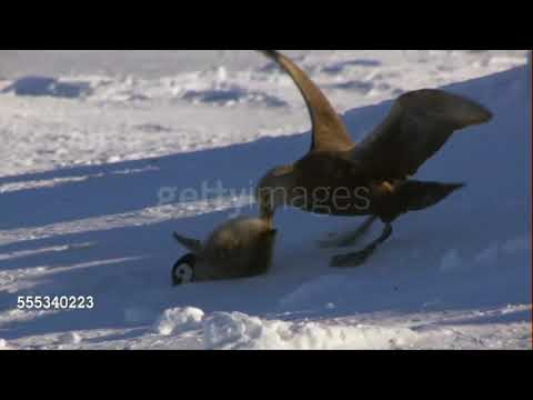 Giant Petrels hunting their favourite food: emperor penguin chicks