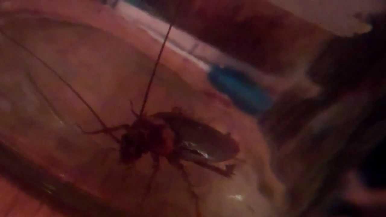 American Cockroach Eats