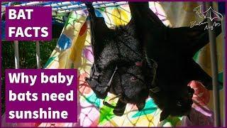 Why baby bats need sunshine [starring Steve & Hawkeye]