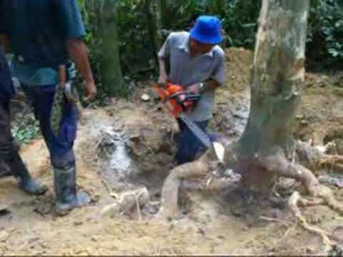 Pokok Gaharu Tebang Pokok Gaharu di Manong