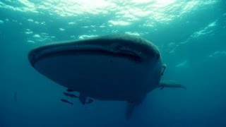 The World's Biggest Shark - Deadly 60 - BBC