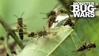 Green Ants Vs Paper Wasps | MONSTER BUG WARS