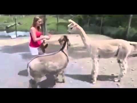 Секс в деревне с ослом