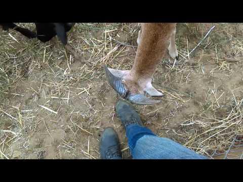 Tame Mouflon Ram Lamb