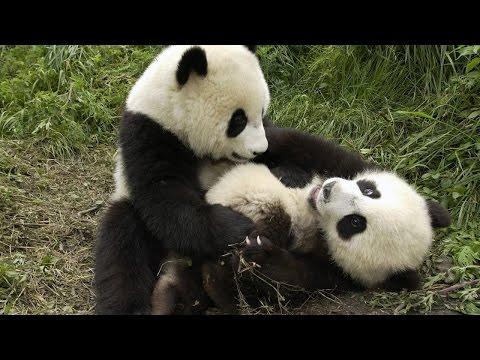 Очень смешные животные  Панда    ожившая игрушка!