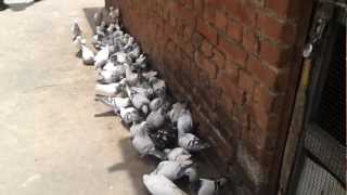 Agra Beautiful Pigeons 15  India-Indian