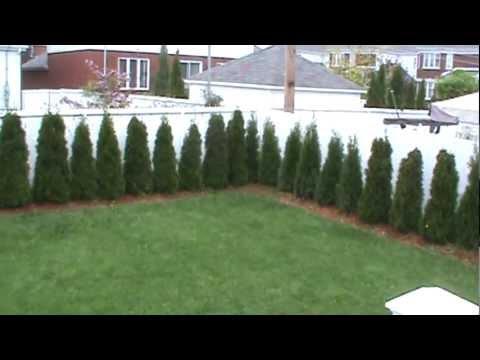 Thuja Occidentalis Smaragd Cedar Hedge 2 Years Old
