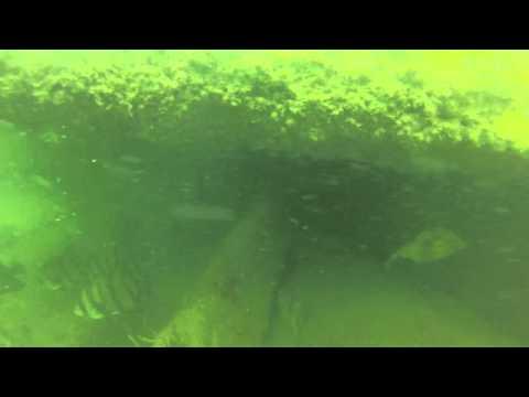 9lb Hog fish St. Petersburg FL Skyway