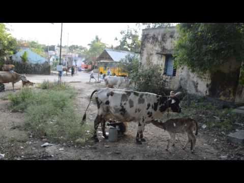 Milking Cow In Gnanamalai, Tamil Nadu, India video