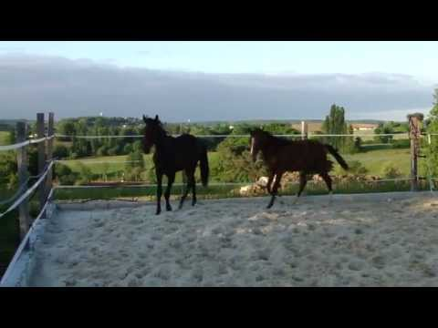 Akhal-teke colt Osman and Karaman - for sale .