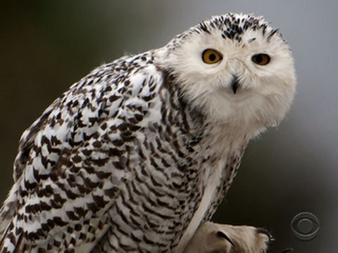 Snowy owl changes its flight plan