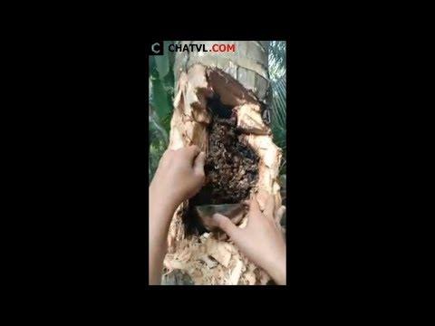 Không ngờ trong cây dừa lại có loại đặc sản thế này