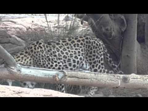 Arabian Leopard eating plants at Arabia's Wildlife Centre Sharjah النمر العربي يأكل الحشائش الشارقة