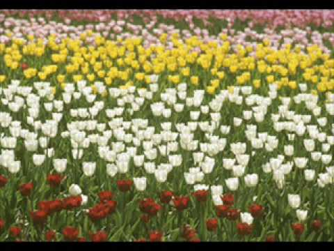 童謡 ♪チューリップ A Japanese Children's Song tulip video