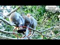 Very Pity Baby Monkey Rey Was Fall Down From Top Tree Because Of Monkey Penelop