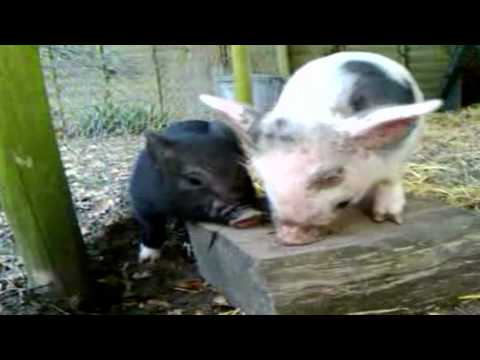 Matt Whyman - Oink: My Life with Minipigs 