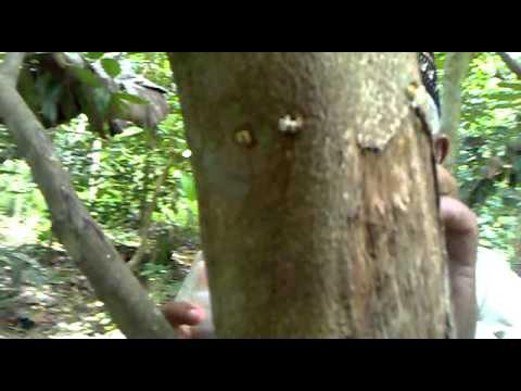 Gaharu Gyrinop sp
