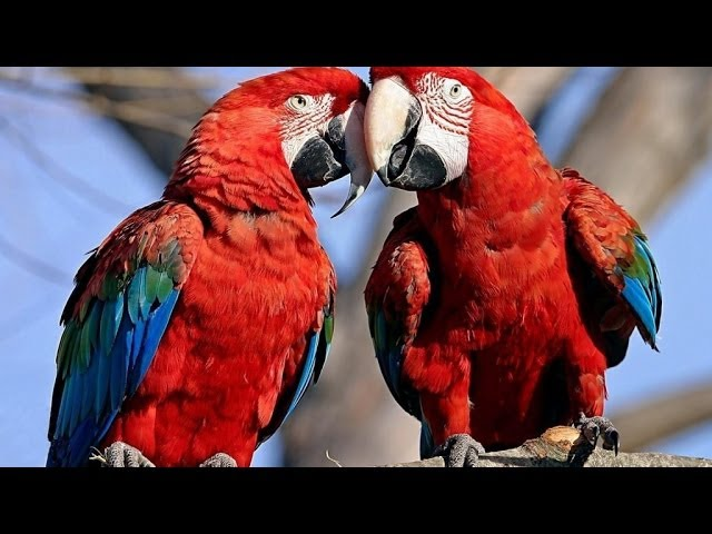 Parrots: Majestic Birds (Nature Documentary)