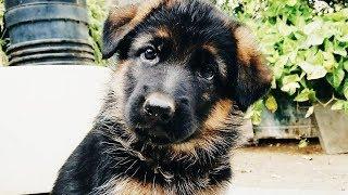 German Shepherd Puppies Funny Compilation #5 - Best Video Of 2018
