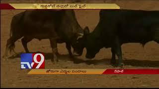 Nepal hosts traditional bull fighting festival