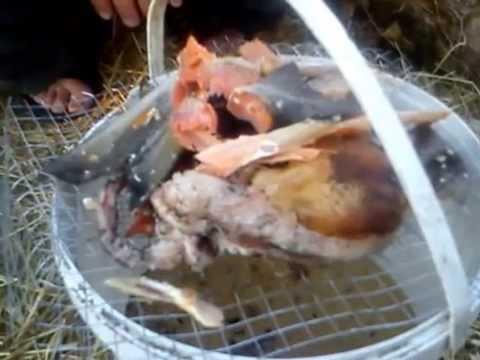 Как сохранить курицу на улице