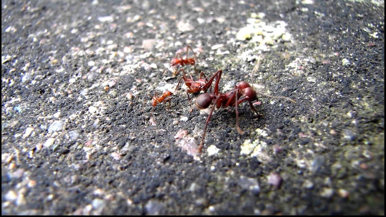 Worker Ant Vs Soldier Ant Worker Ant Vs Soldier ...