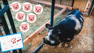 The HAPPIEST pig on Earth gets her own BIRTHING PEN 🐷