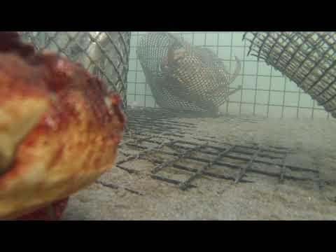 Crab Reality in Drakes Estero - Credit Tracy Grimes (SDSU)