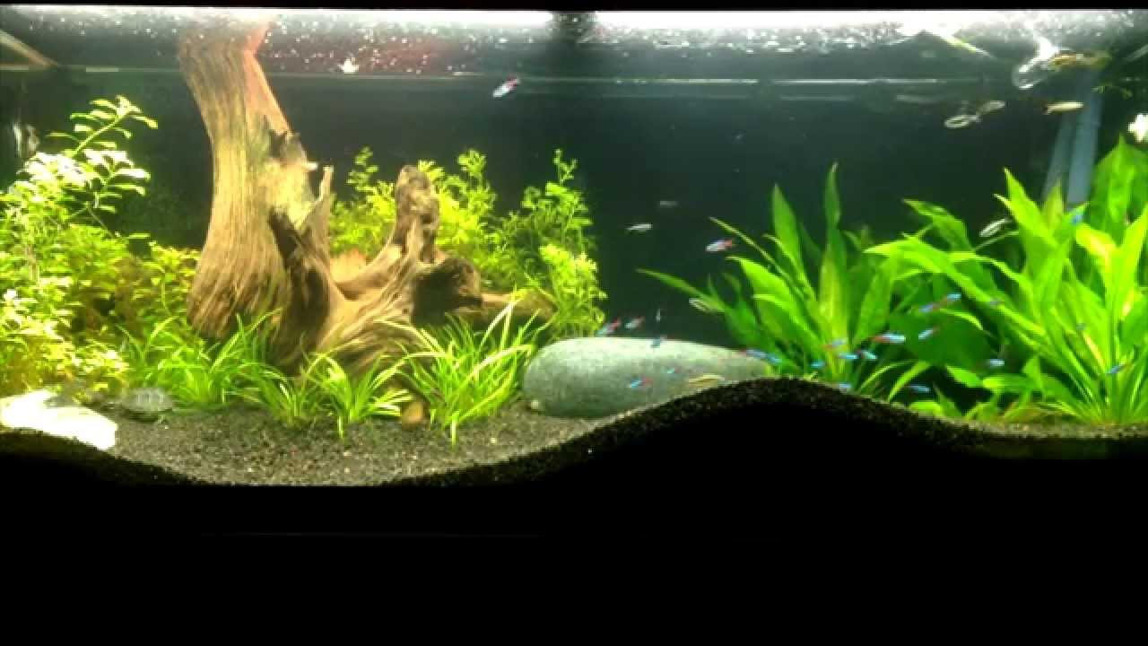70 gal planted aquarium with musk turtles - YouTube