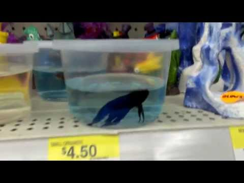 How walmart takes care of their betta fish youtube for Betta fish for sale at walmart