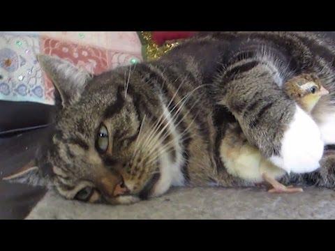 まどろむ猫の腕の中には仲良しのヒヨコ
