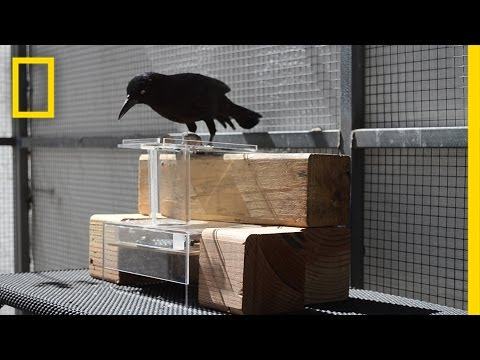 See How These Birds Solve Tricky Puzzles